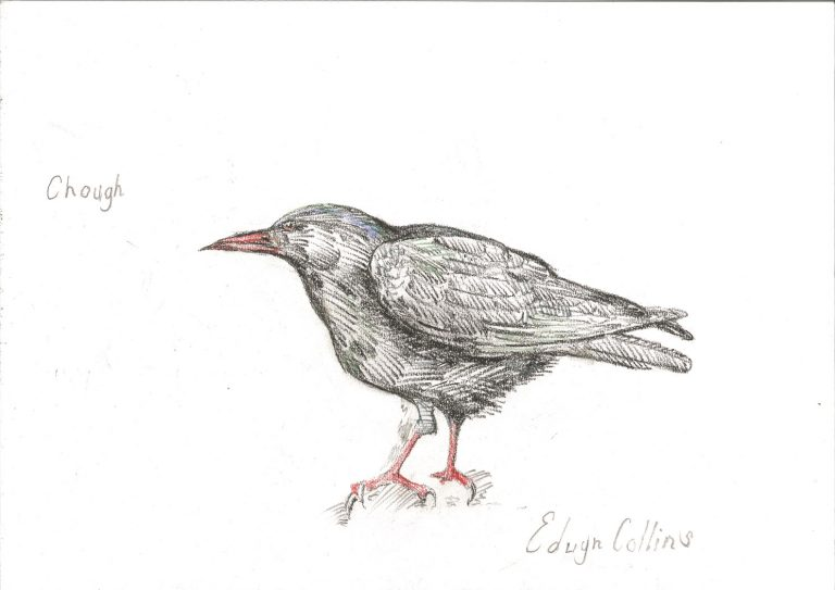 Drawing of a chough