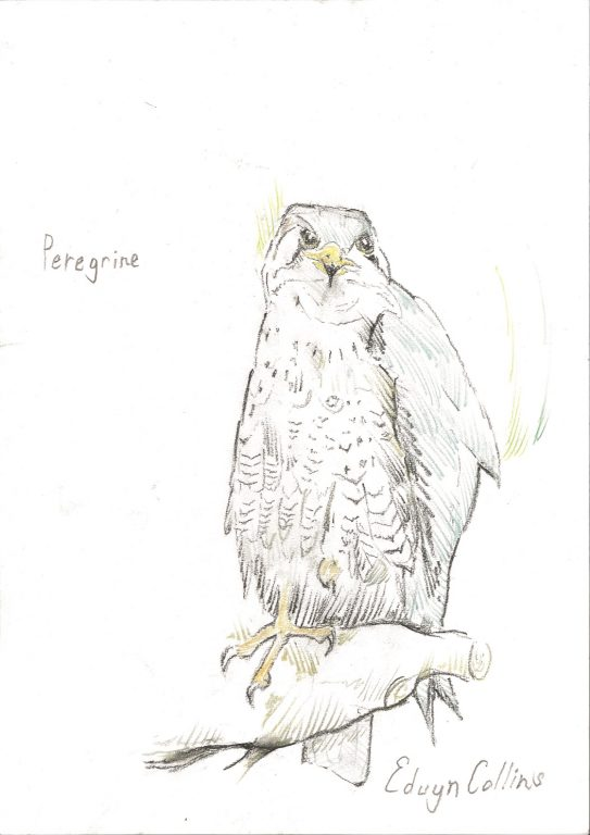 Drawing of a peregrine