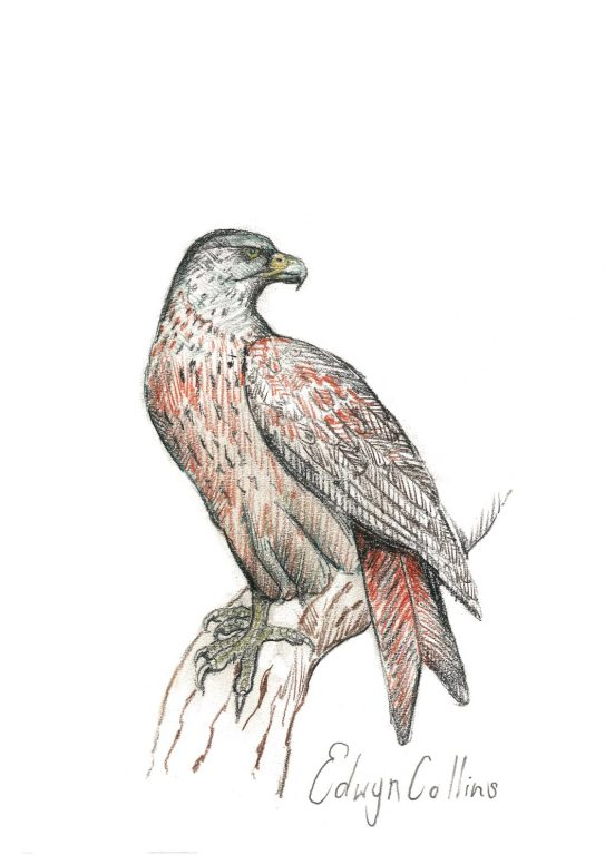 Drawing of a red kite