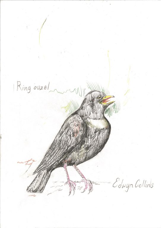 Drawing of a ring ouzel.